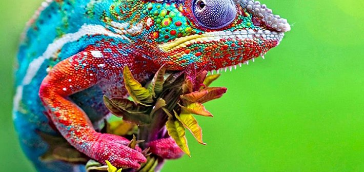 Chameleon changing colour