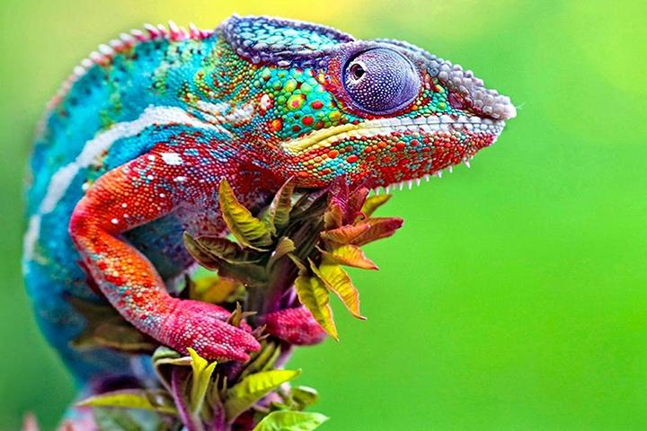 Chameleon changing colour